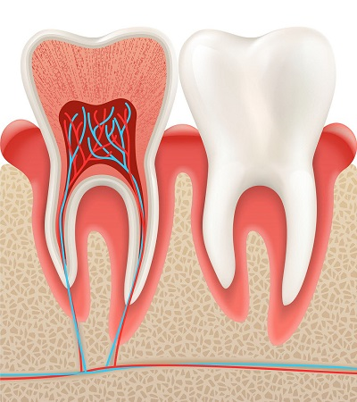 vector illustration of tooth anatomy